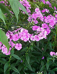 gro er stauden phlox rosa mit roter mitte phlox paniculata sommerfreude. Black Bedroom Furniture Sets. Home Design Ideas