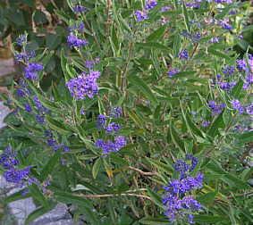 caryopteris x clandonensis 39 heavenly blue 39 bartblume. Black Bedroom Furniture Sets. Home Design Ideas